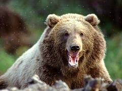 Annoyed Grizzly