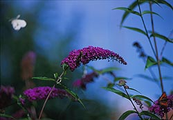 Butterfly bush: Click for 1024 x 768