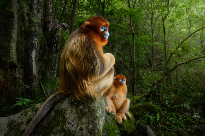 Qinling golden snub-nosed monkey by Marsel van Oosten